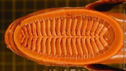Image: Remora Lamellae; Copyright: Matt Friedman, University of Michigan and Brooke Flammang, New Jersey Institute of Technology