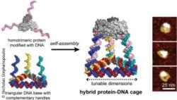 Photo: graphic of the Hybrid-Protein DNA cage; Copyright: Nicholas Stephanopoulos