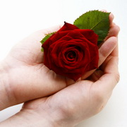 Hand holding and touching a rose