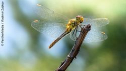Image: a small green dragonfly sitting on a branch; Copyright: PantherMedia/Vladimir Zubkov