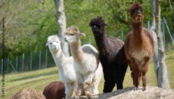 Image: four alpacas; Copyright: MPI for Biophysical Chemistry/I. Böttcher-Gajewski