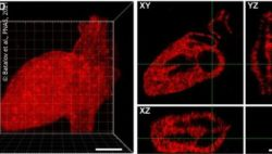 Image: Image of a heart, Hydrogel patterning with mCherry -- 3D human heart; Copyright: Batalov et al., PNAS, 2021