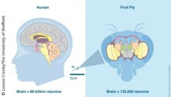 Photo: comparison of brain from human and fruit fly
