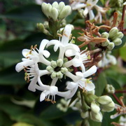 Photo: Honeysuckle Plant