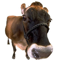 Photo: A brown cow