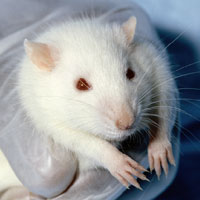 Photo: A white lab mouse