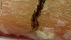 Image: Incision with coagulated edges in a piece of meat; Copyright: FH Aachen