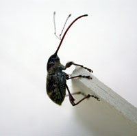Photo: A black beetle clinging to white table