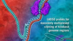 Image: DNA-based LASSO molecule probe binding target genome regions for functional cloning and analysis; Copyright: Jennifer E. Fairman/Johns Hopkins University
